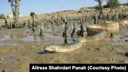 Змеи в Иране. Иллюстративное фото.