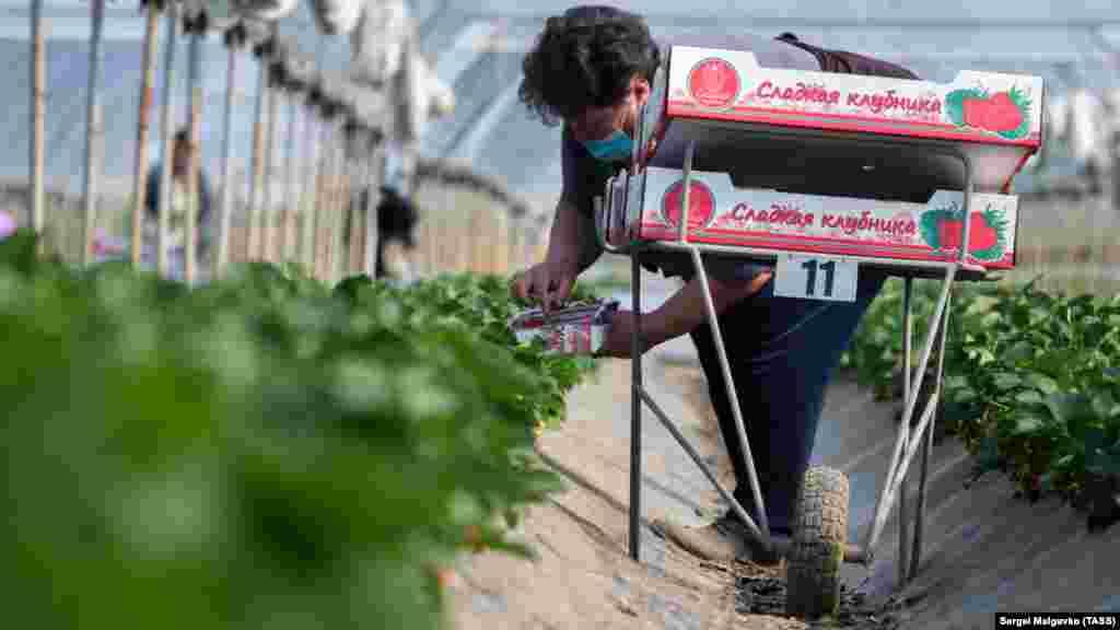 Сорт Клери стойкий к плесени, морозам и засухе, благодаря чему ее урожаи богатые и качественные