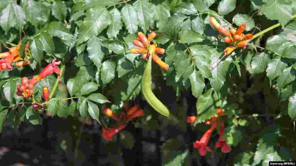 Червоні квіти бегонії. У Криму її можна зустріти чи не на кожному кроці, але як називається рослина – знають далеко не всі