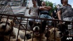 تحقیقات سازمان خیریه «حیوانات آسیا» در هنگکنگ نشان میدهد که عمده سگهایی که برای کشته شدن در یولین جمع میشوند، ربوده شدهاند یا بیخانمان بودهاند