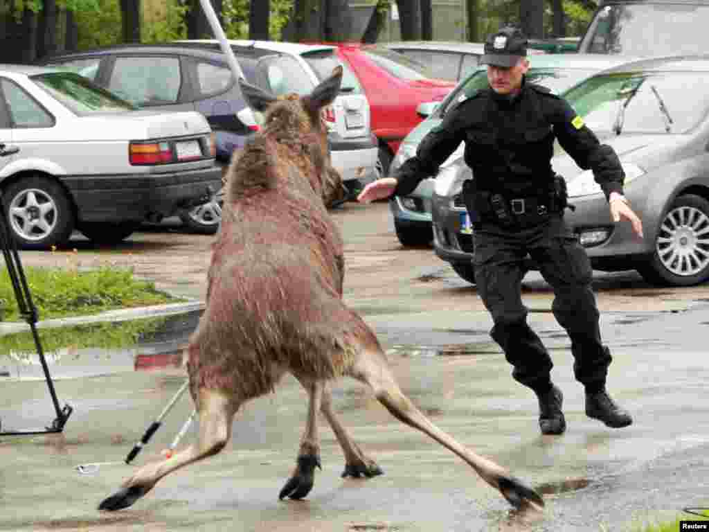 A policeman tries to divert a female moose into a net after she wandered into the suburbs of Lublin, Poland. The moose was later released into the forest. Photo by Rafal Michalkowski for Reuters