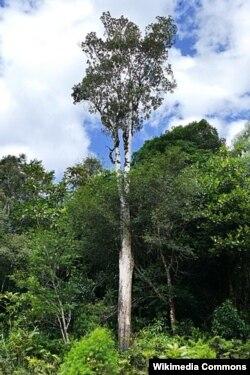 Pycnandra acuminate дарагы.