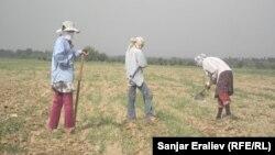 Кыргызстандын талаасында иштеген өзбекстандык кыз-келиндер. Жалал-Абад облусу.