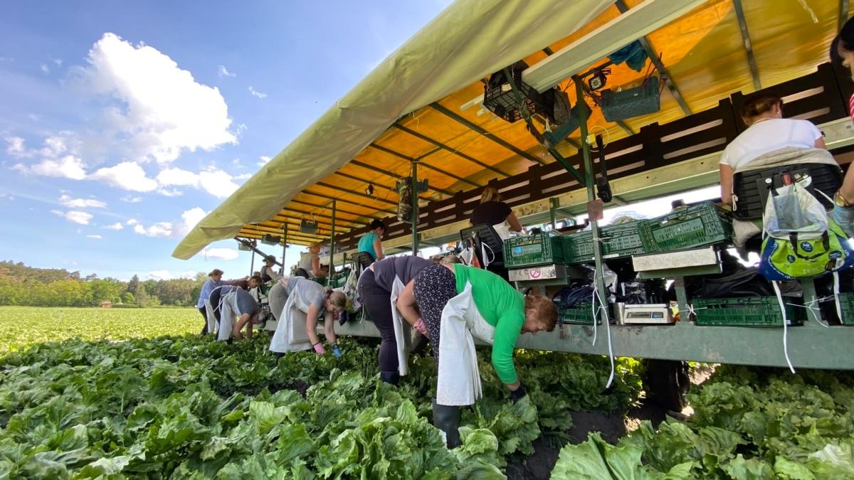 «Украинцы для нас незаменимы» – Чехия может остаться без урожая из-за отсутствия работников