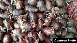 Чириган уруғлик картошка