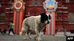 Москва, 30 апреля, собака, гуляющая по Красной площади на фоне Исторического музея, украшенного к празднованию 70-летия Победы