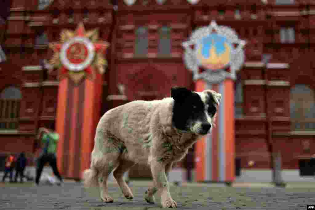 A dog walks outside the State Historical Museum decorated for the upcoming Victory Day celebrations on Moscow's Red Square. (AFP/Kirill Kudryavtsev)