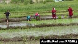Astara rayonunda çəltik sahəsi