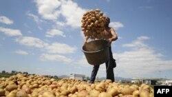 Kultivimi i patates në Kosovë