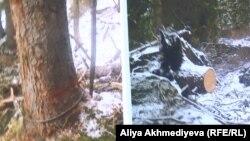 Тянь-Шань ормандарынан түсірілген фото айғақтар.