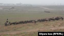 Чабан с отарой овец в селе Багыс Южно-Казахстанской области. 19 декабря 2015 года.