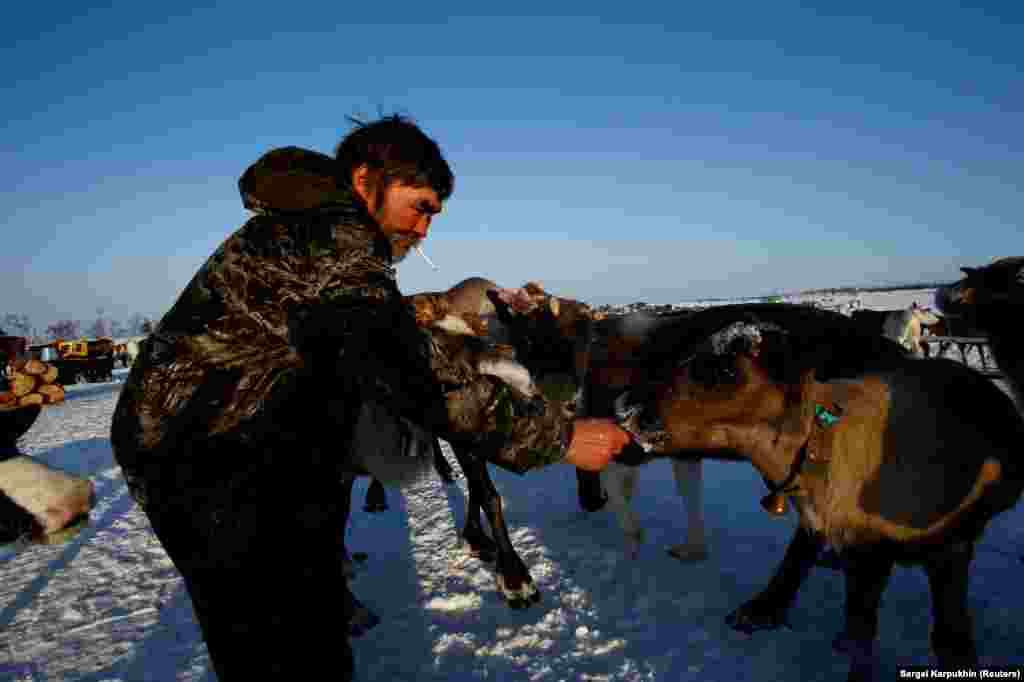 A herder feeds his reindeer. A top concern among these voters is the development of oil fields encroaching on pasture grounds.