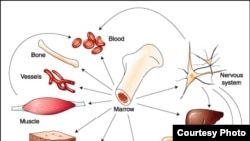 Из стволовых клеток красного костного мозга в Санкт-Петербурге надеются получить ткани организма человека