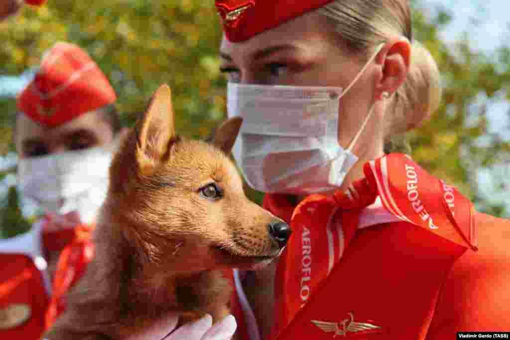 Egy kiskutyát tart a kezében az Aeroflot egyik munkatársa. Ez a cég kezdte el a koronavírus- fertőzöttséget kiszimatoló szolgálati kutyák kiképzését.