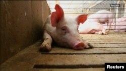 România este singurul stat din Uniunea Europeană care mai are focare de pestă porcină africană.