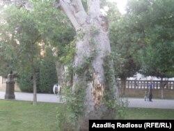 Baobabı sarmaşığa bürüyüblər.