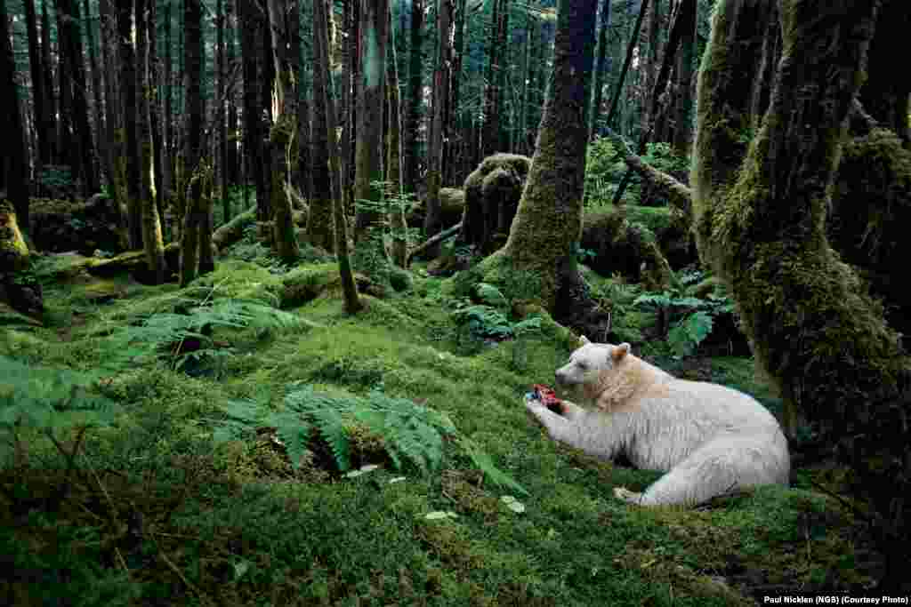 In a moss-draped rain forest in British Columbia, towering red cedars live 1,000 years and black bears have white coats. They are known to the local people as spirit bears.