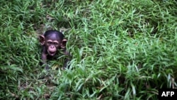 Mladunče čimpanze