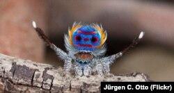 """Превед"", - как бы говорит паук вида Maratus speciosus своей самке"
