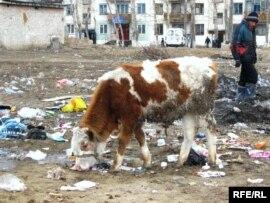 Корова на городской свалке под присмотром пастуха. Семей.