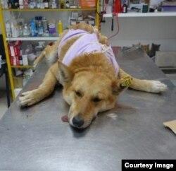 Стерилизованная собака из Дмитрова