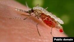 پشه آنوفل حامل انگل مالاریا