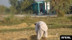 Another blow to already beleaguered Afghan farmers?