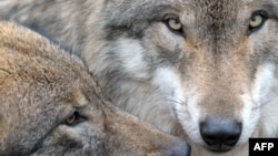 Don't MP3 them until you see the whites of their beady little Eurasian wolf eyes.