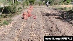 Cўхликлар картошкасини сотолмай қолди