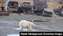 Тот самый белый медведь