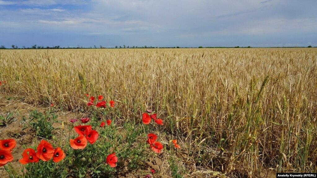 Одне з постраждалих від посухи пшеничних полів «Правди». Вціліло 240 гектарів, повністю загинуло – 760