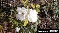Троянди в Керчі, 25 грудня 2015 рік