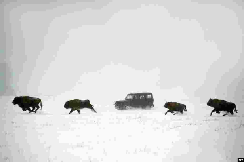 Bison run across a snow-covered field near the village of Rybnitsa, some 290 kilometers northwest of Minsk. (AFP/Sergei Gapon)