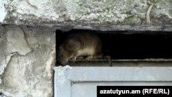 Șobolanul transmite ușor viruși care deși duc rar la apariția unor boli favorizează înrăutățirea stării generale de sănătate.