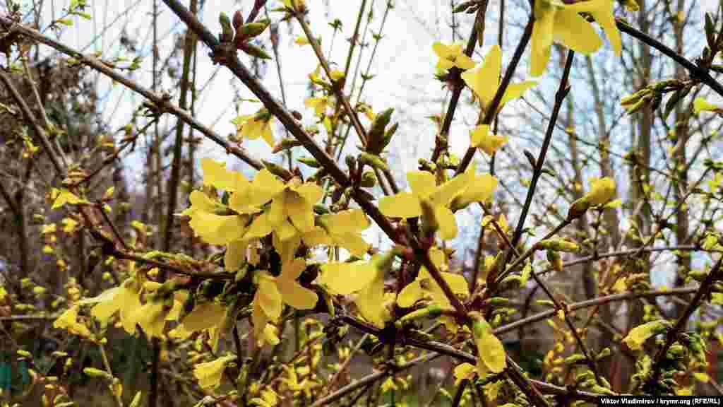 Желтым цветом зацвела форзиция. Лишь после окончания цветения на ней появятся зеленые листья