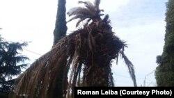 Пальмовый долгоносик способен уничтожить пальму за один сезон