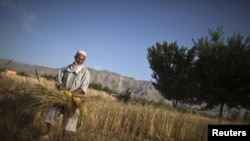 An Afghan man harvests wheat at his farm in Bagram.