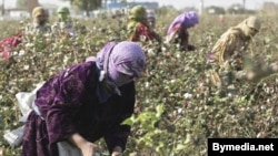 The cotton harvest in Tajikistan