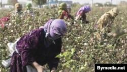 The cotton harvest in Tajikistan