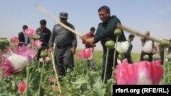 آرشیف، تخریب مزارع کوکنار در افغانستان