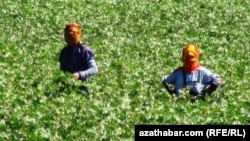 Cotton Harvesting In Turkmenistan