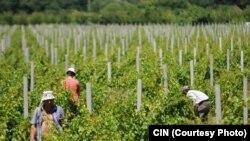 Vinogradi, ilustracija