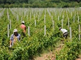 Vinogradi kompanije Agrokop, foto: CIN