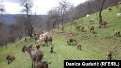 Farma alpskih koza u selu Zvjezd