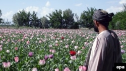 An Afghan farmer checks his poppy fields in Kandahar.