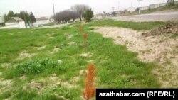 Aşgabadyň eteginde ozalky ekilen we guran agaç nahallary. Aşgabat, mart, 2013.