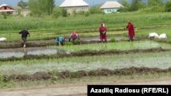 Azərbaycanın Cənub regionunda çəltik tarlası