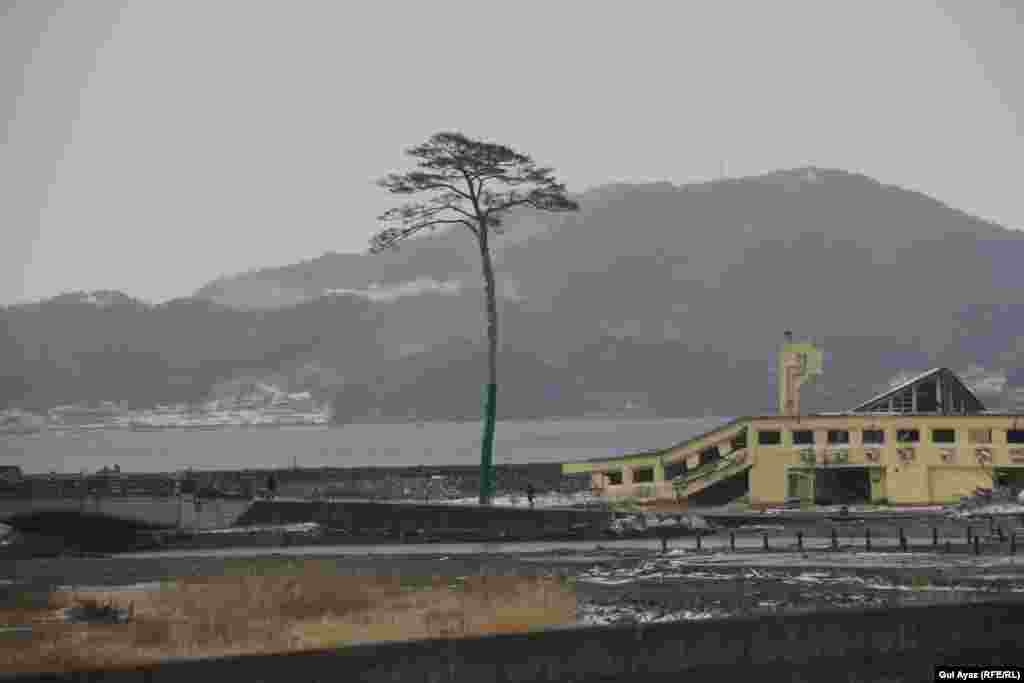 """FINALIST:""""Sole Survivor"""": A 30-meter-high palm tree was the only tree to survive the 2011 earthquake and tsunami in Takata Matsubara Forest, Japan. Before the natural disaster, the forest had boasted some 70,000 pine trees. (Photo: Gul Ayaz, RFE/RL's Radio Mashaal)"""