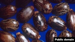 Семена клещевины, источник смертельно опасного рицина
