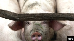 Десяток стран отказался от импорта свинины из США
